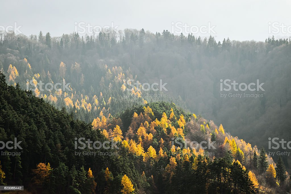 Larch trees and pine trees in autumn season stock photo