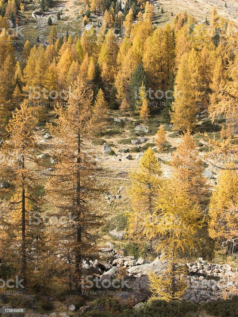 Larch trees at autumn stock photo