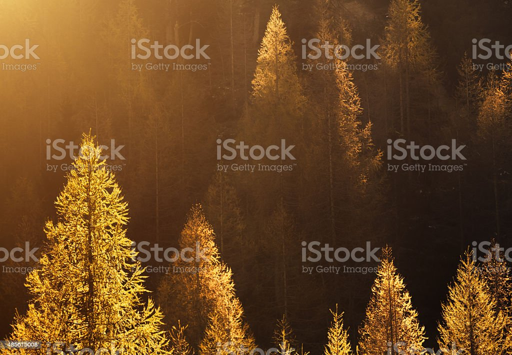 Larch Trees In Autumn Colors stock photo