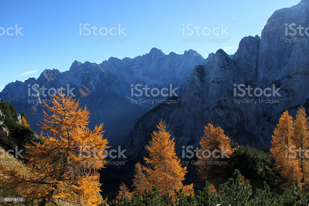 larch trees in autumn morning stock photo