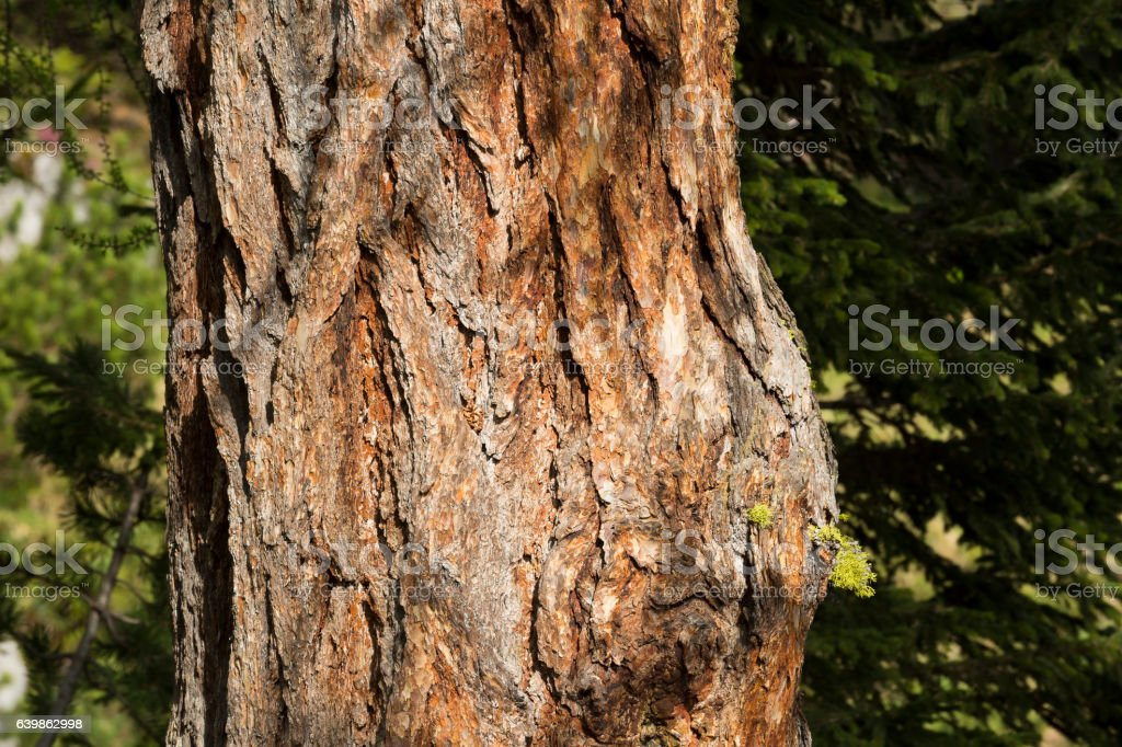 Larch trunk stock photo