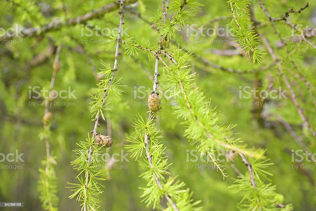 larch twigs royalty-free stock photo