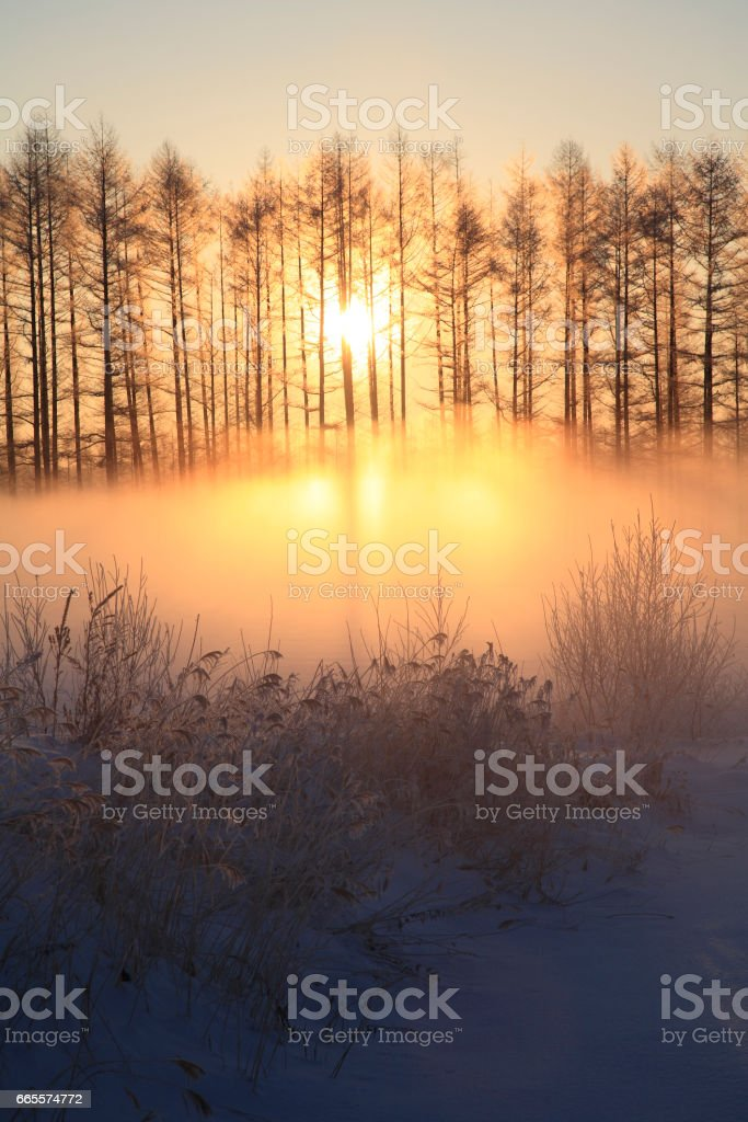 Larch Windbreak winter Sunrise stock photo
