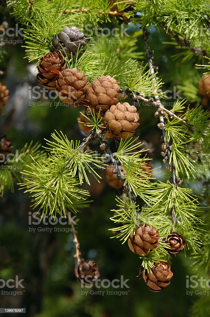 Larch with Cones royalty-free stock photo