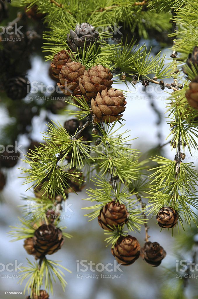 Larch with Cones stock photo