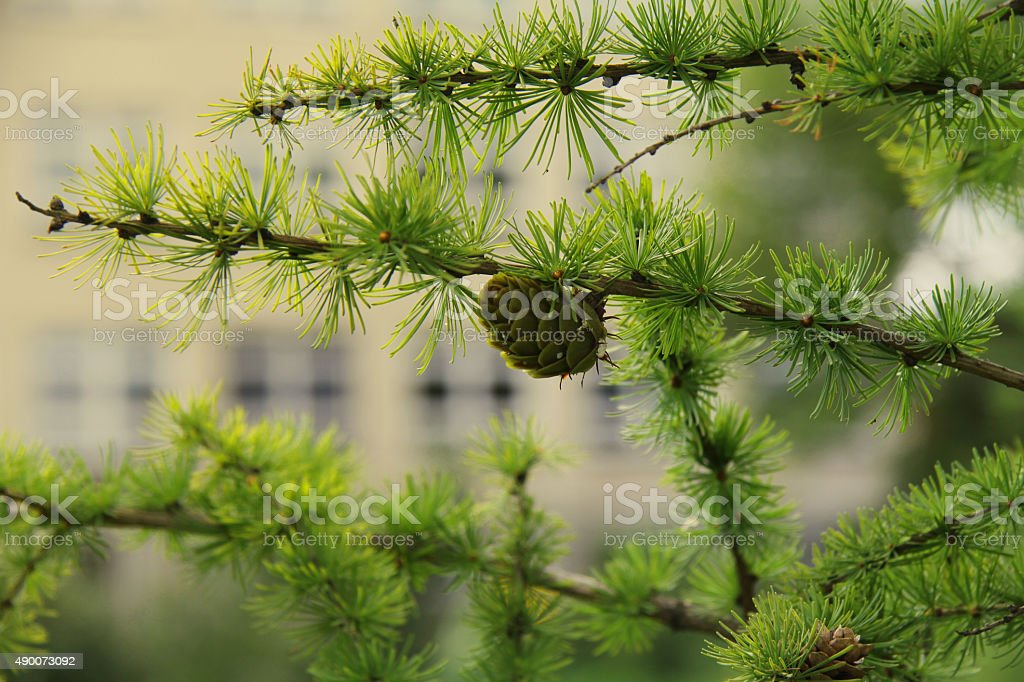 Larch with green cone stock photo