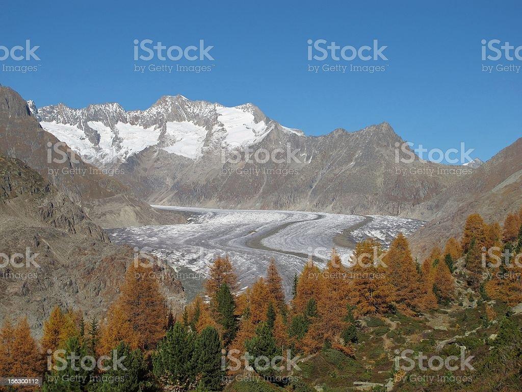 Larch Wood And Aletschgletscher stock photo