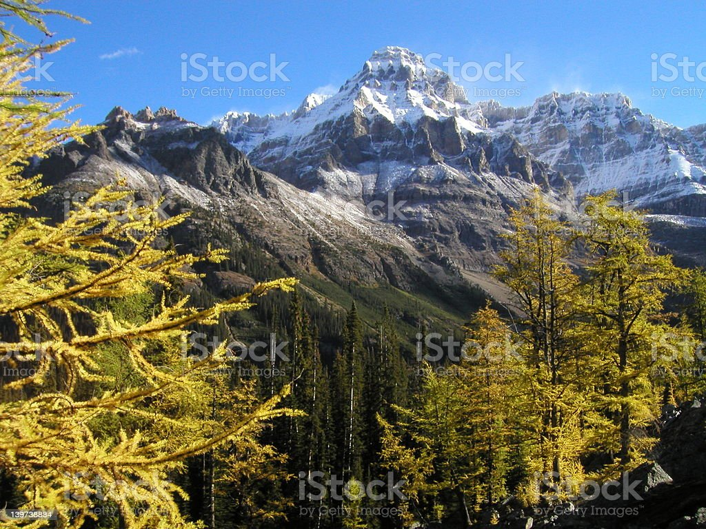 Larches at Mount Wiwaxy royalty-free stock photo