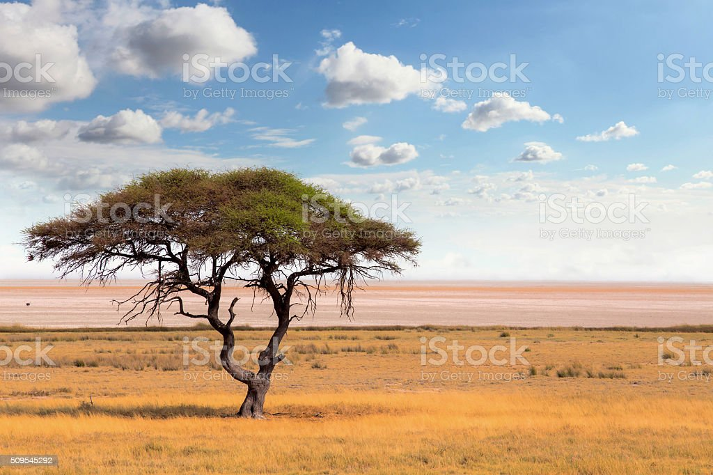 Large Acacia tree in the open savanna plains Africa stock photo