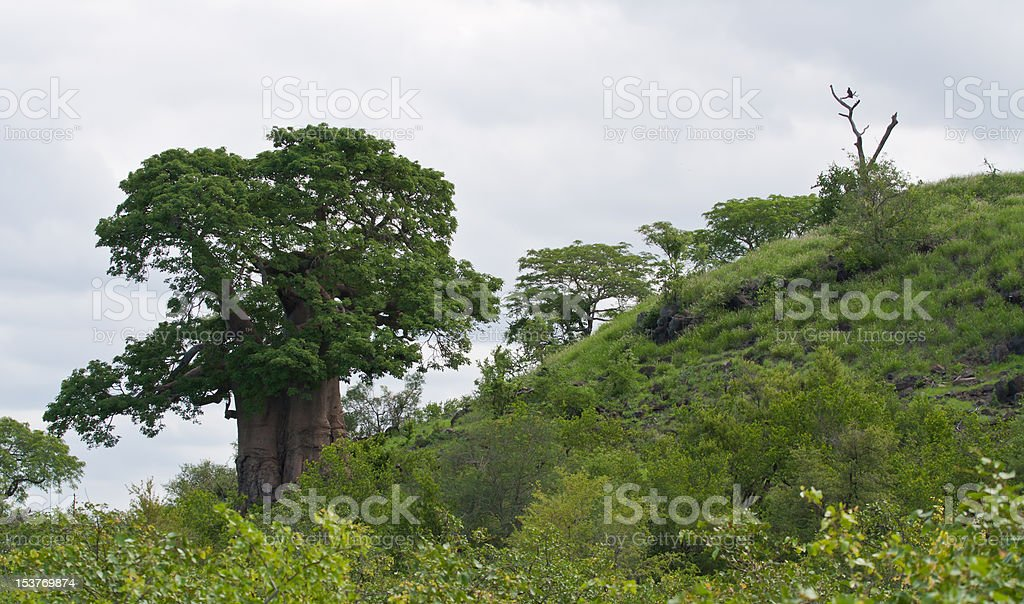 Large African baobab tree with an eagle nearby royalty-free stock photo