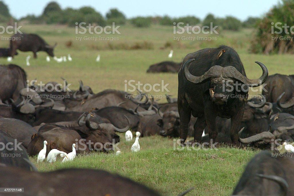 Large African Buffalo Bull guarding herd stock photo