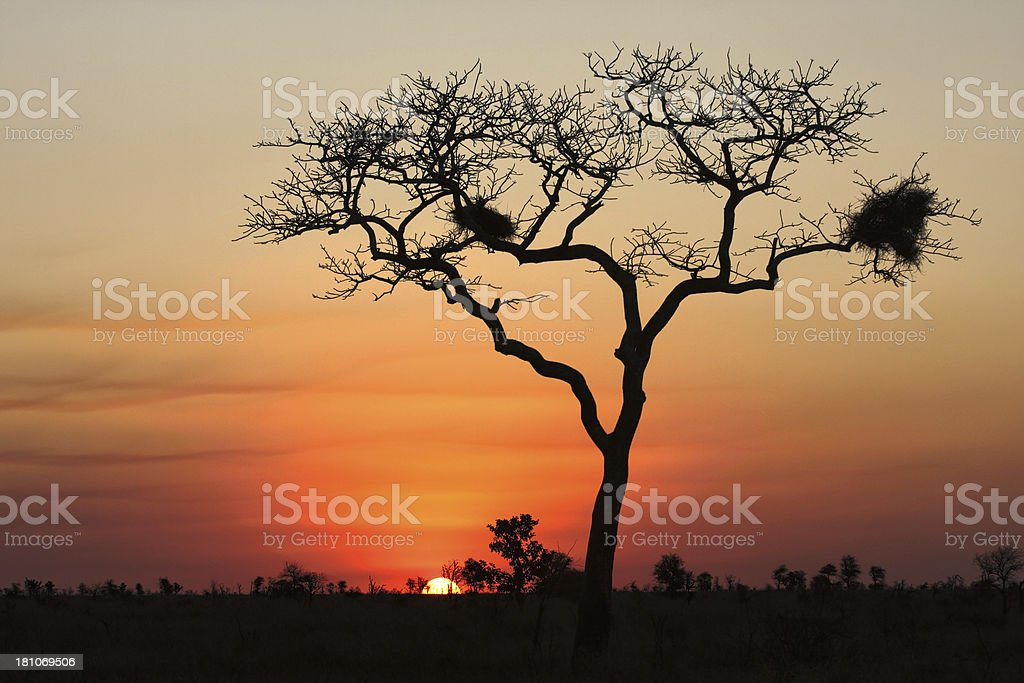 Large African tree silhoutted by a setting sun royalty-free stock photo