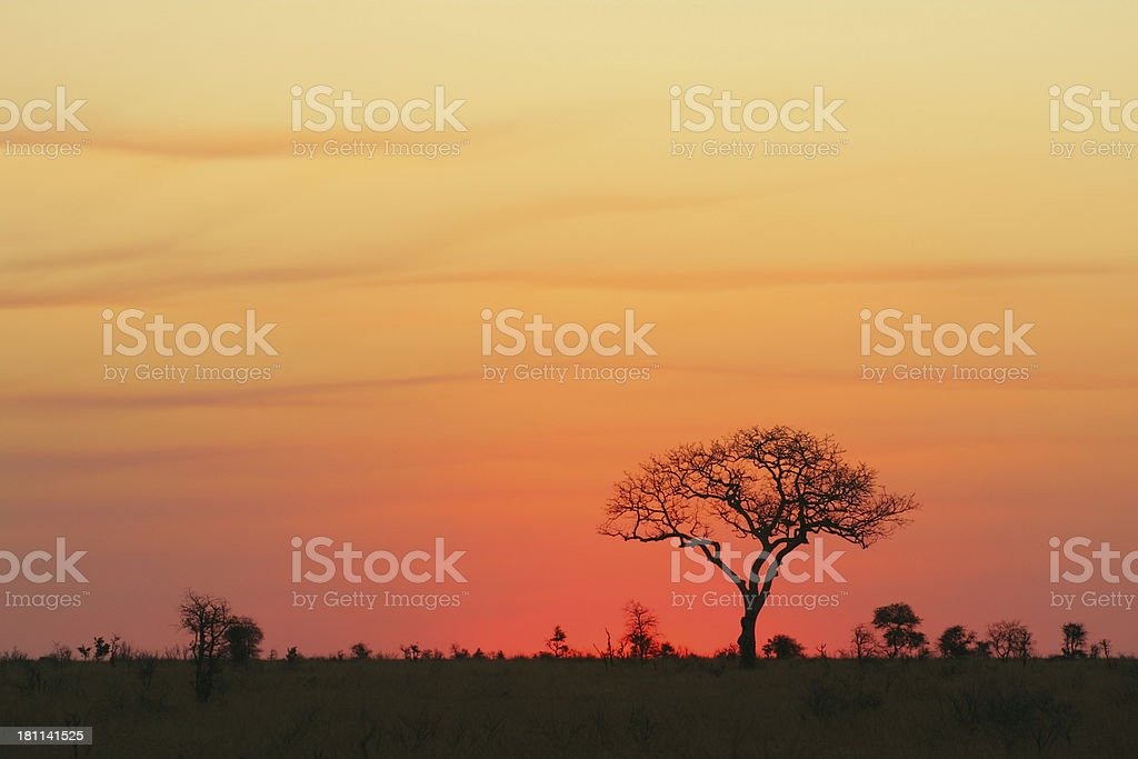 Large African tree with open plain sunset or sunrise sky royalty-free stock photo