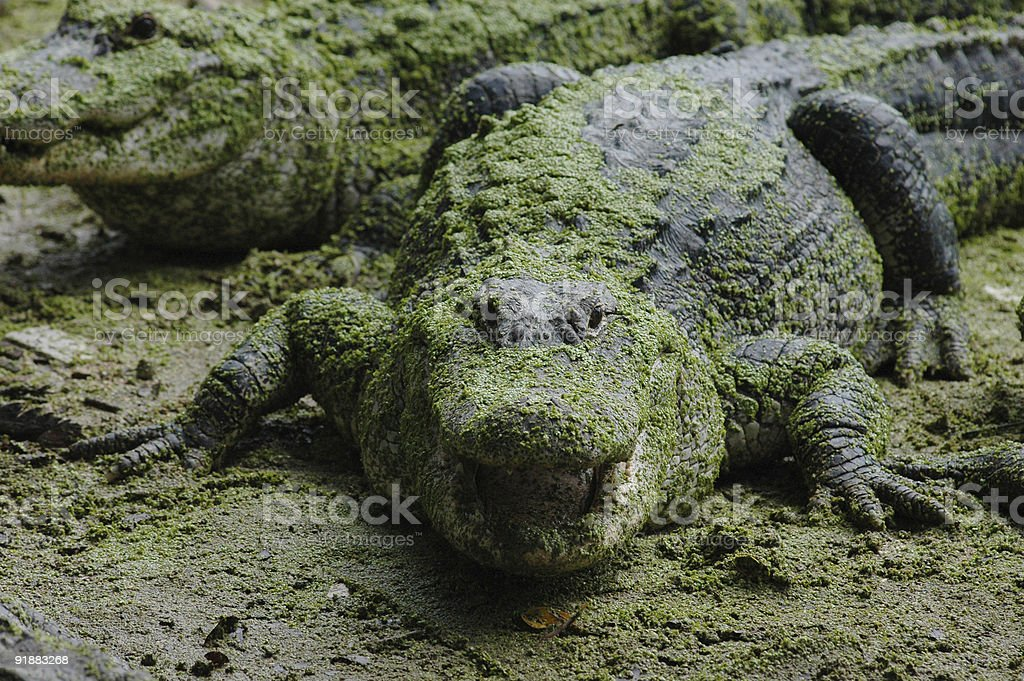Large American Alligator royalty-free stock photo