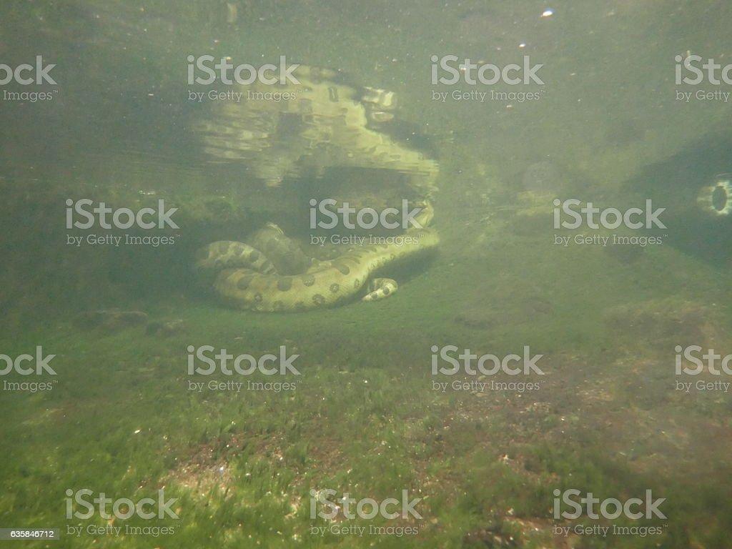 Large Anaconda under water stock photo