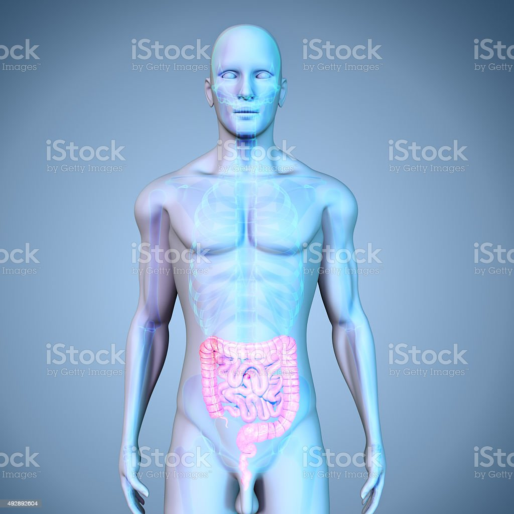 Large and Small intestine stock photo