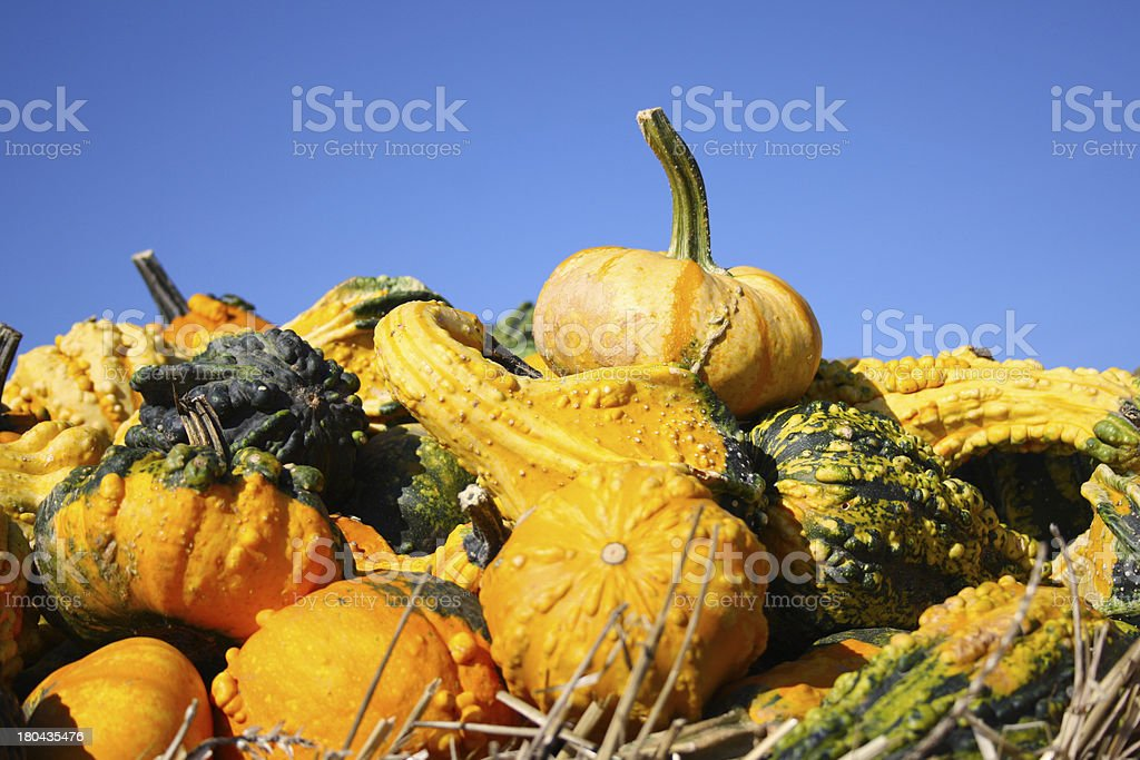 Large and small pumpkins royalty-free stock photo