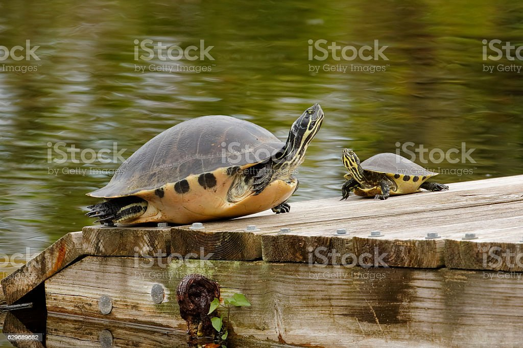 Large and small Yellow-bellied Sliders on a Florida dock stock photo