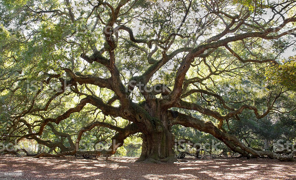 Large Angle Oak Tree stock photo