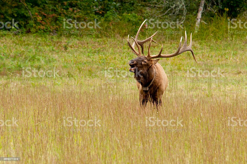 Large antlered Elk sounding a bugle. stock photo