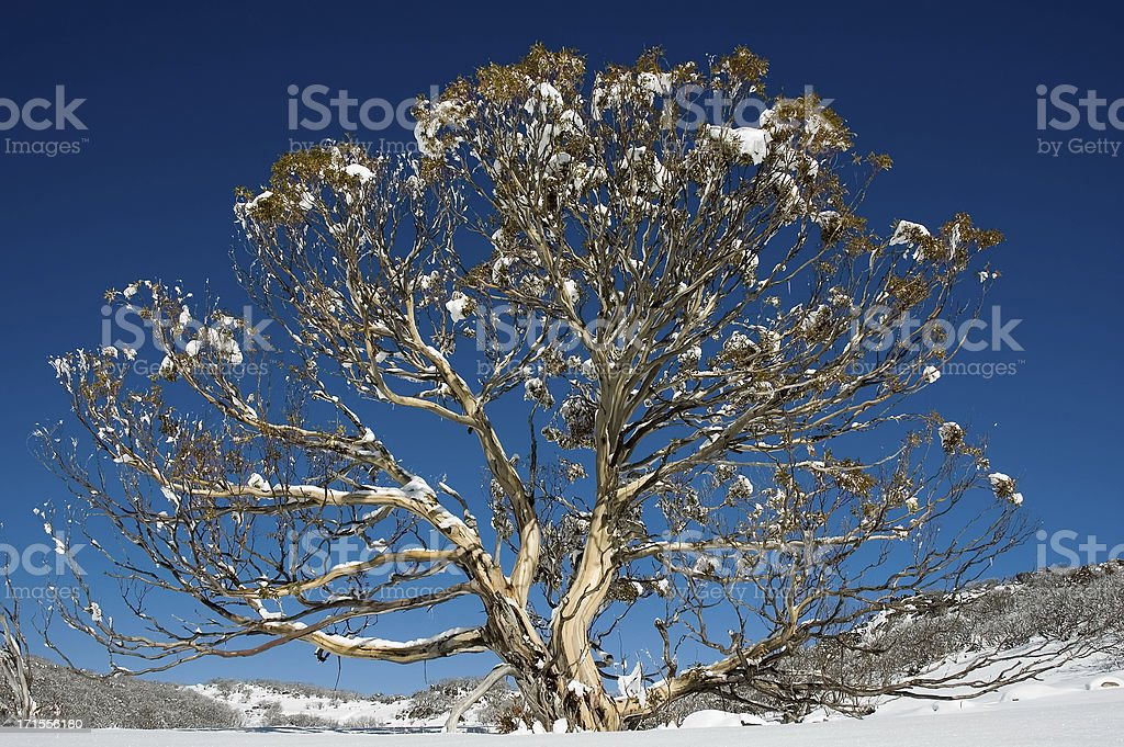 Large Australian Snow Gum stock photo