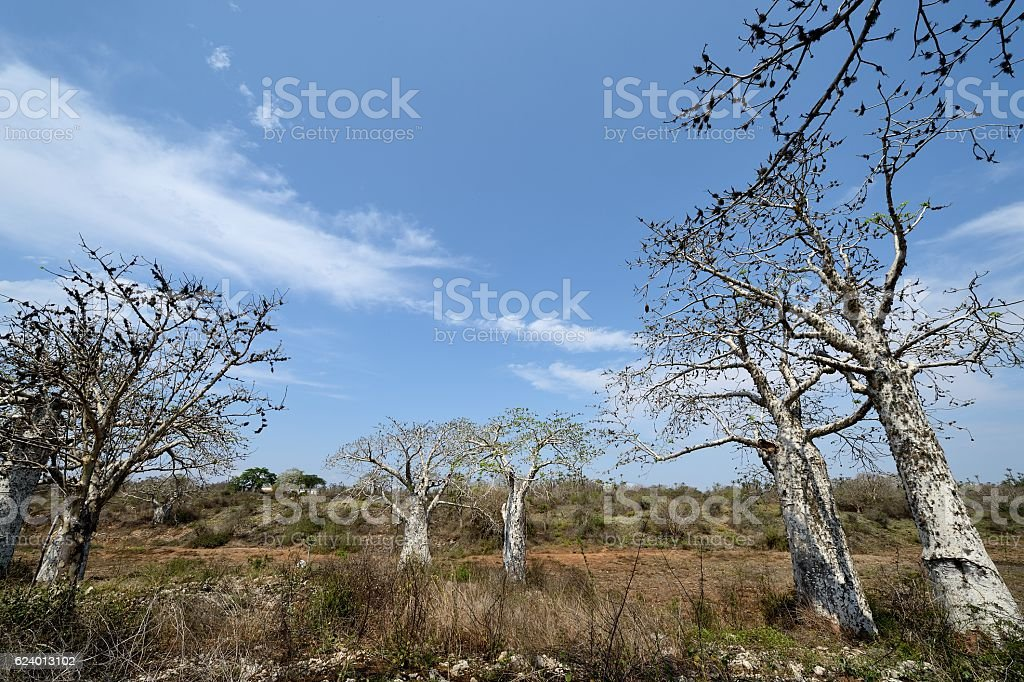 Large baobab trees in an Angolan forest stock photo