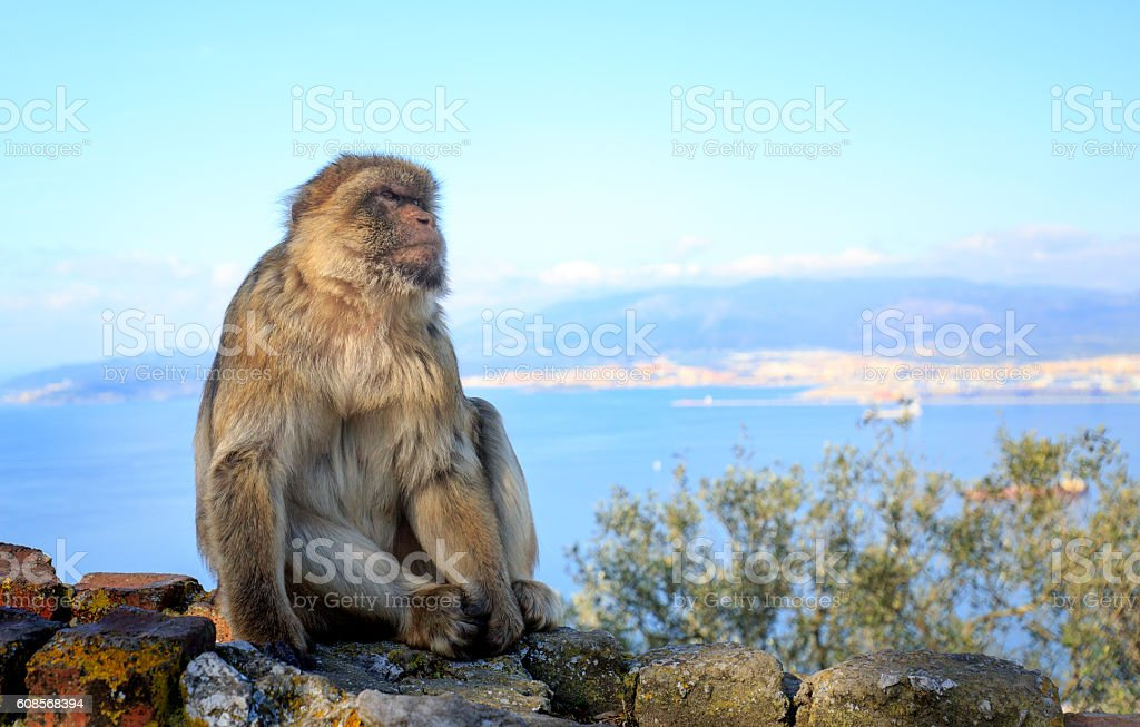 Large Barbary Ape on Rock of Gibraltar stock photo