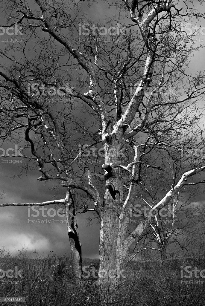 Large bare tree with snowy branches on moody sky stock photo