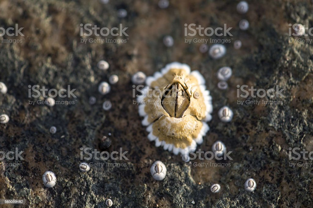 Large barnacle plus smaller ones on a rock stock photo