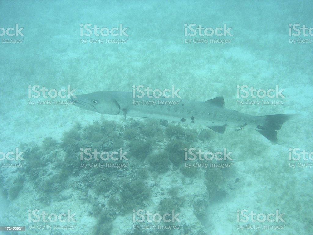 Large Barracuda royalty-free stock photo