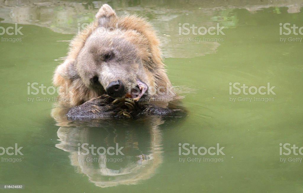 Large Bear Eats Ravenously stock photo