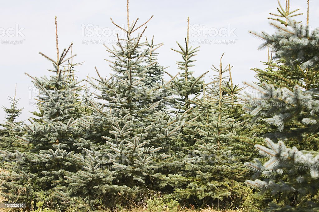 A large beautiful Christmas tree farm royalty-free stock photo