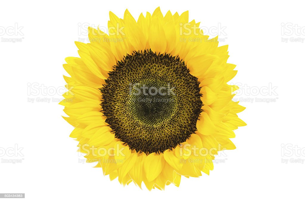 Large Beautiful Sunflower isolated on white background:clipping path stock photo