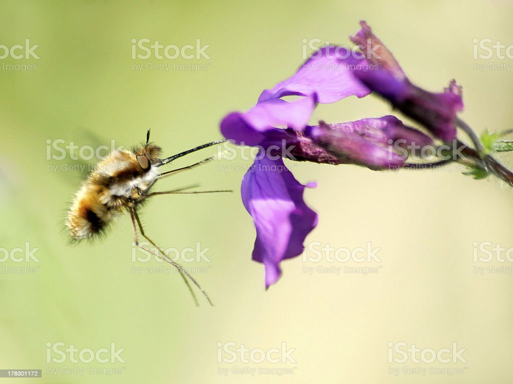 Large bee fly feeding flower stock photo