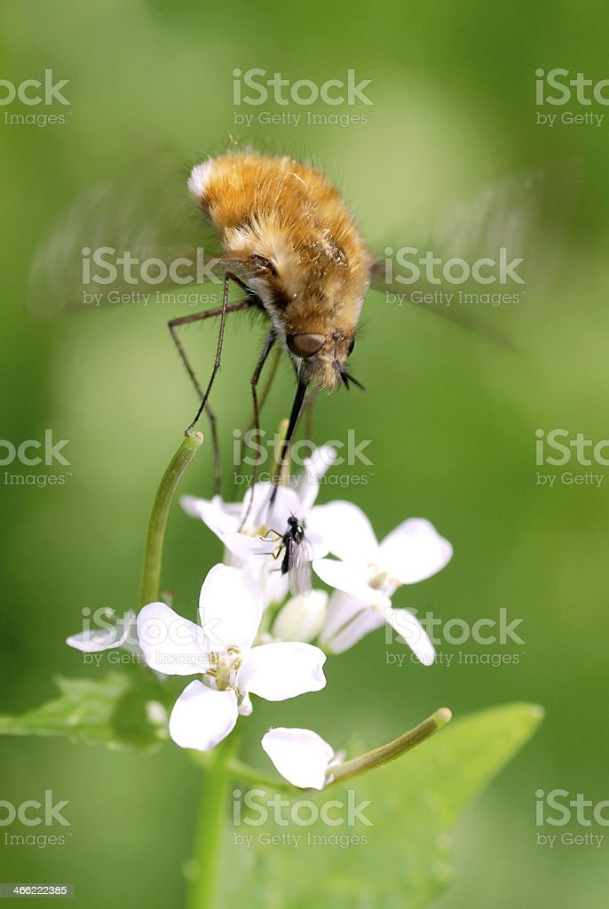 Large bee fly feeding on white flower stock photo