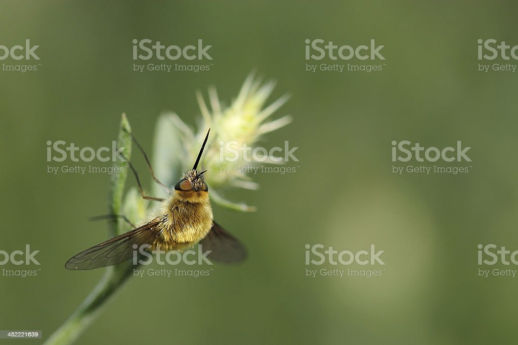 Large bee fly (Bombylius major) on grass stock photo