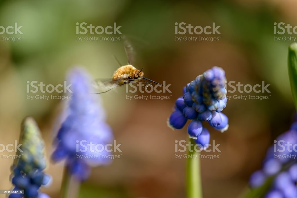 Large Bee Fly stock photo