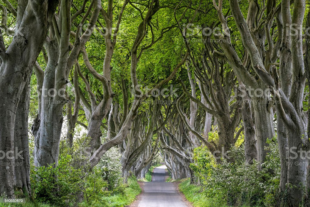 Large beech trees (Dark Hedges) in Northern Ireland stock photo