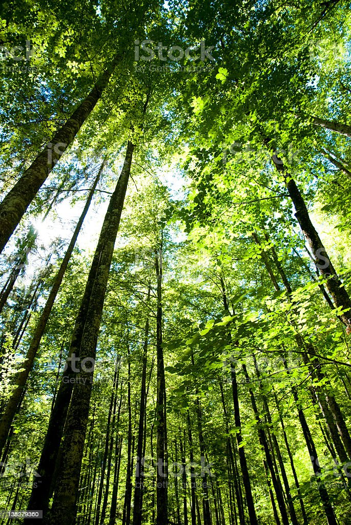 Large beech trees with wonderful ambiente in summer stock photo
