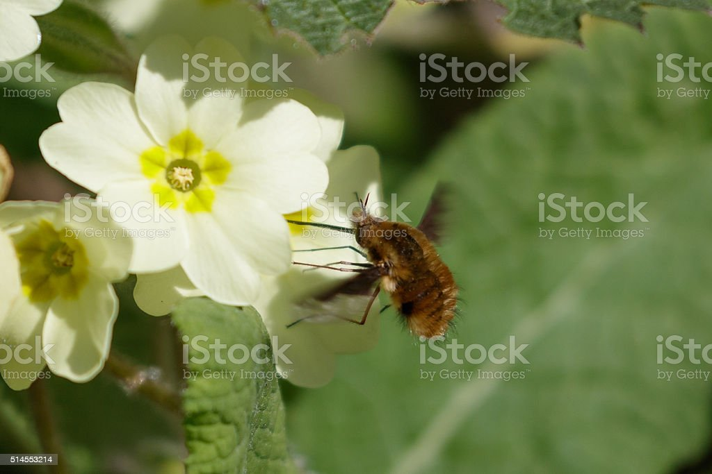 Large Bee-fly (Bombylius major) on Primrose stock photo