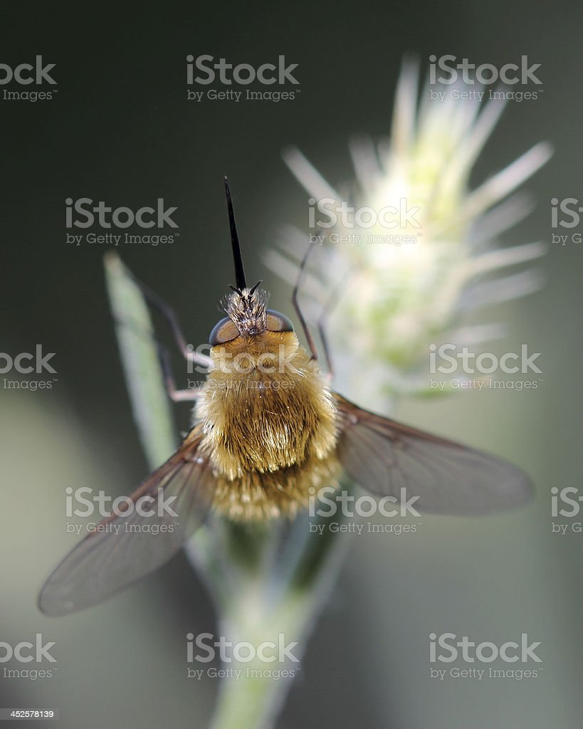 Large Bee-fly (Bombylius major) stock photo
