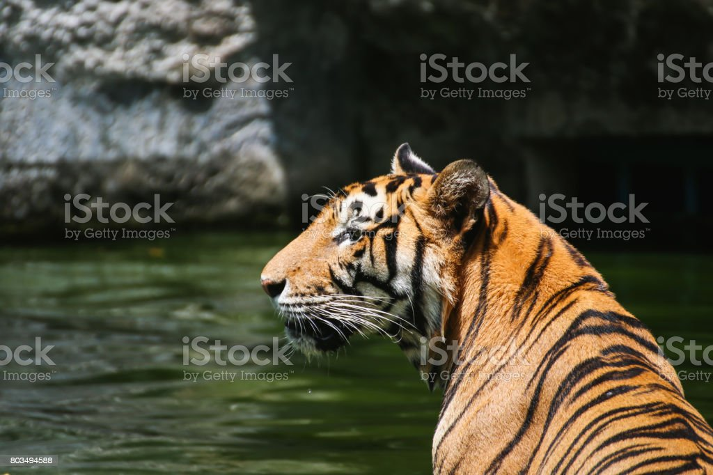 Large bengal tiger sitting in the pond, Bengal tiger swimming in the pond stock photo