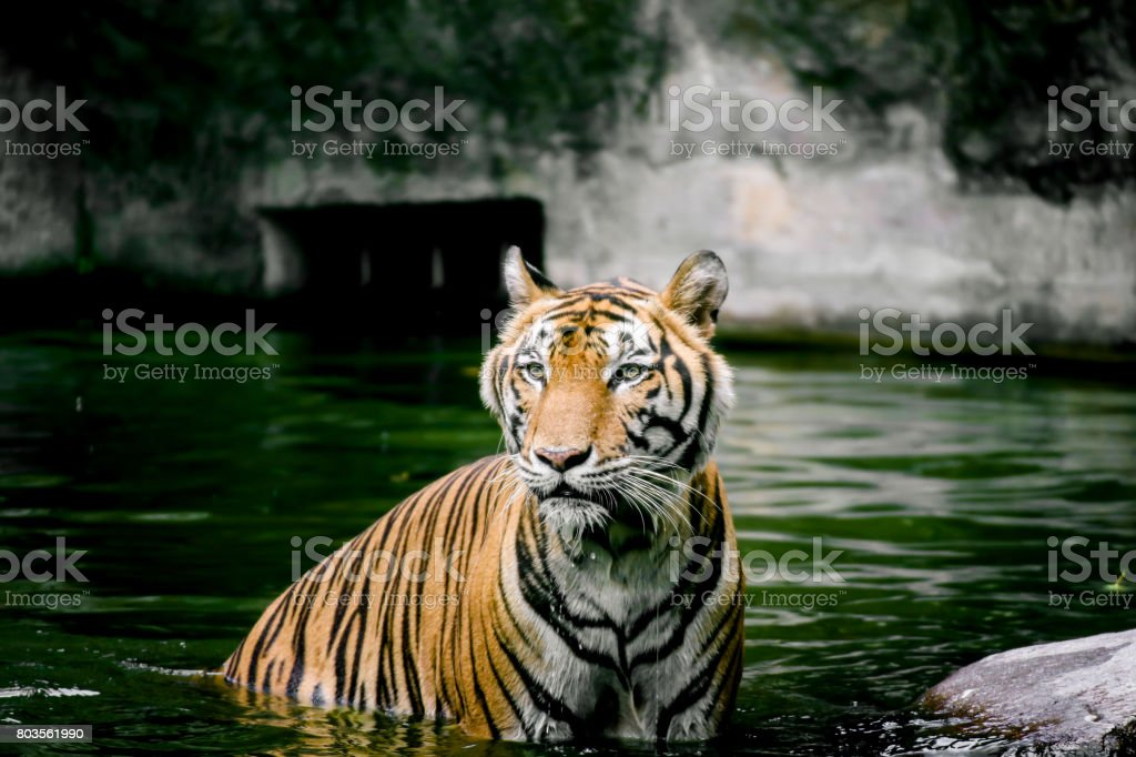 Large bengal tiger  swimming in the pond stock photo