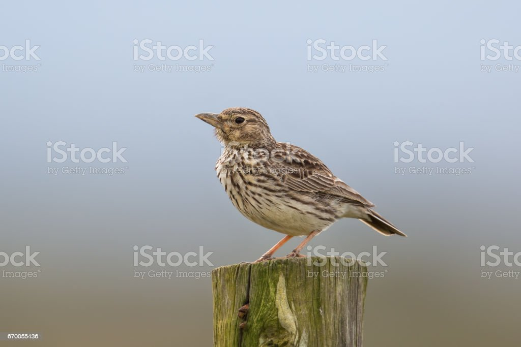Large billed Lark on a fence post stock photo
