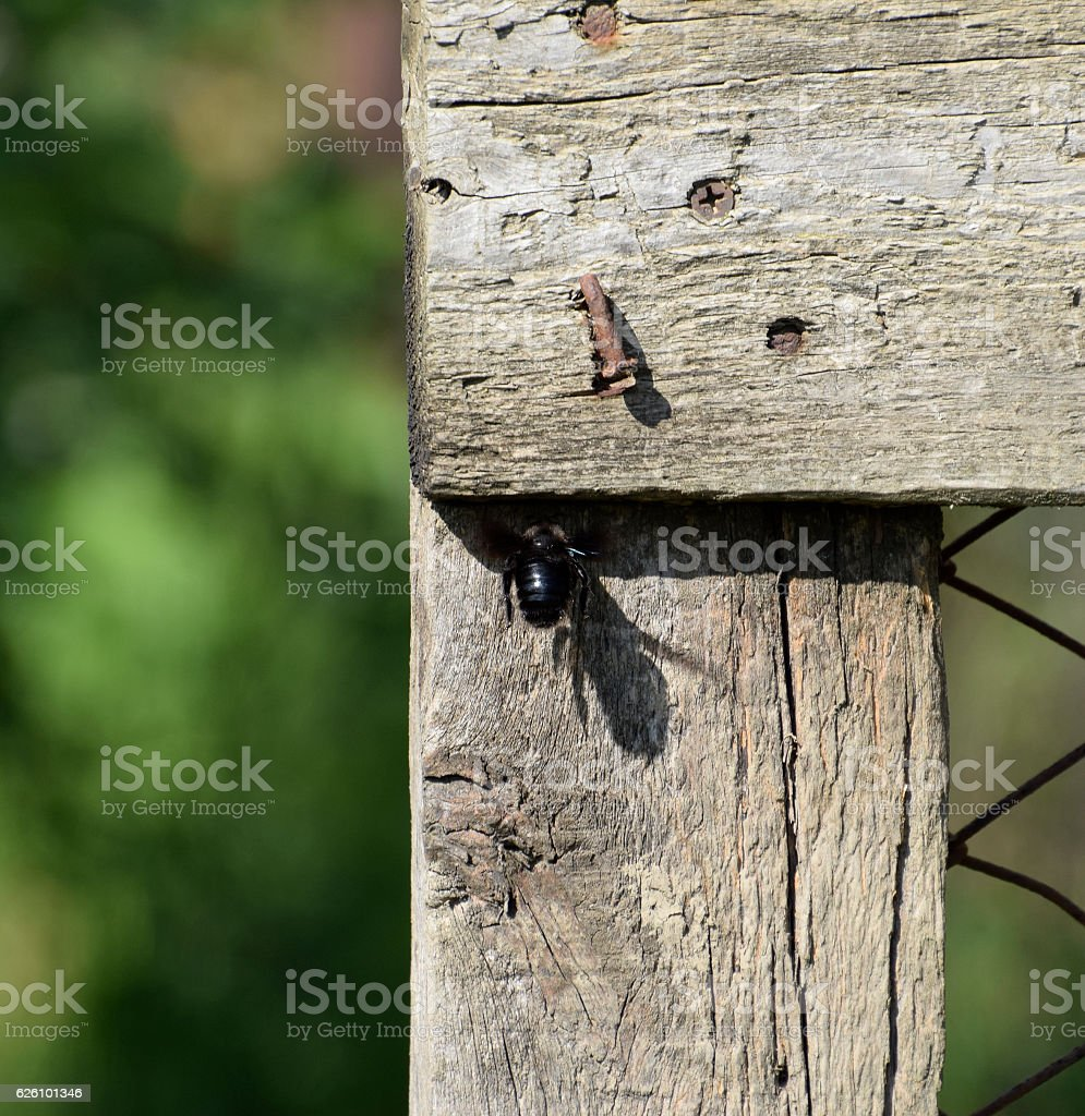 Large black bumble bee on a wooden fence stock photo