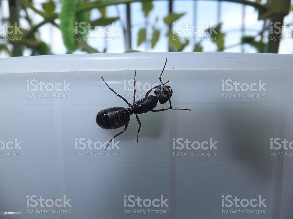 Large Black Carpenter Ant stock photo