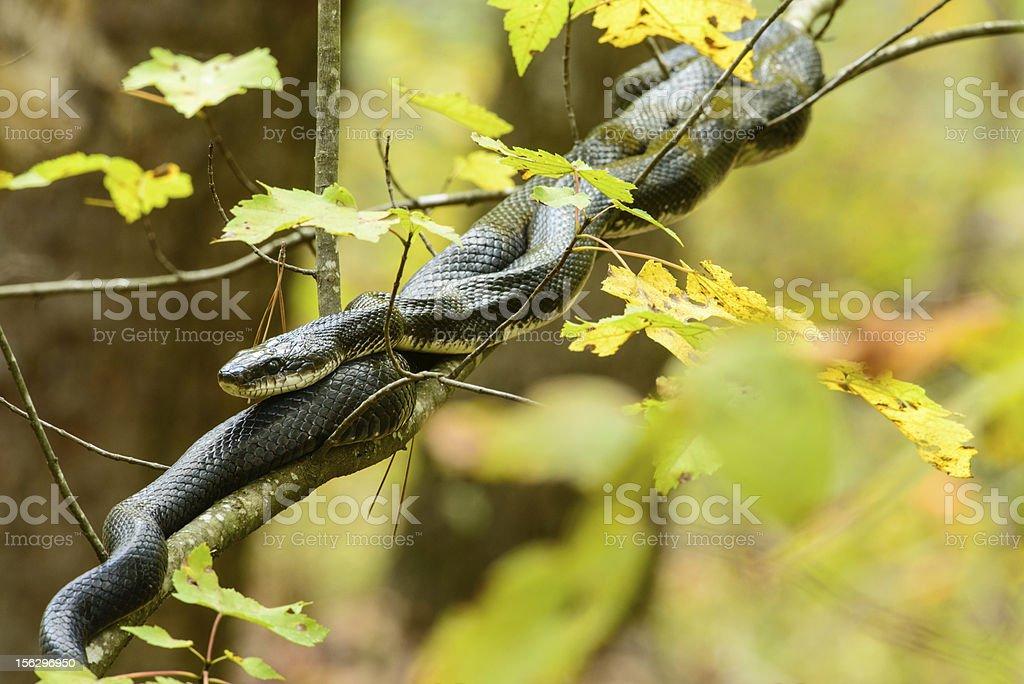 Large black king snake stock photo