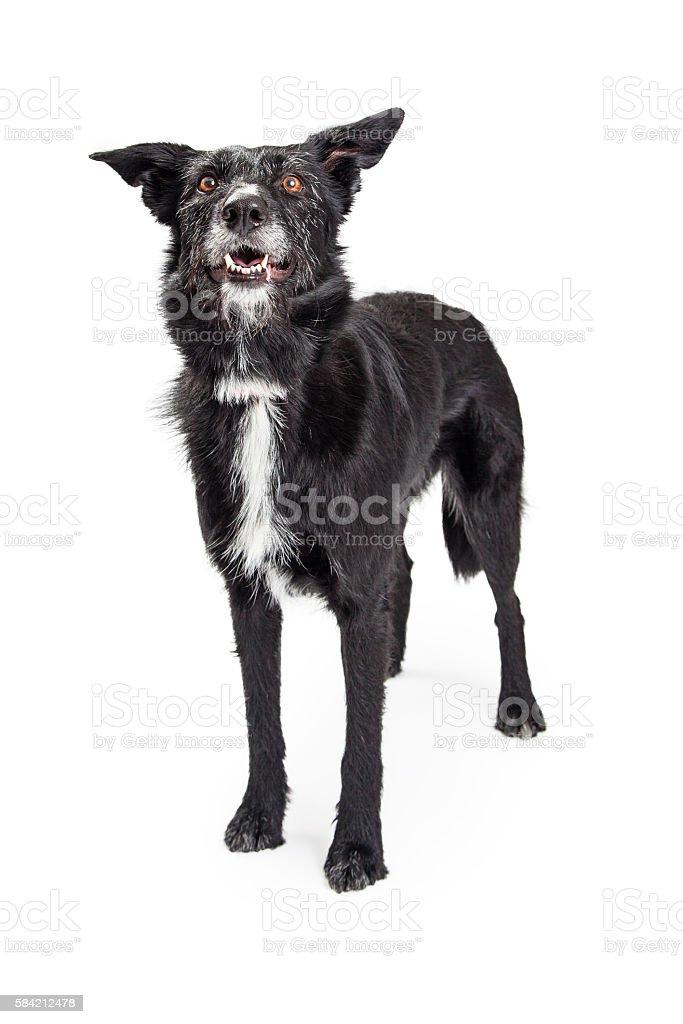 Large Black Scruffy Dog on White stock photo