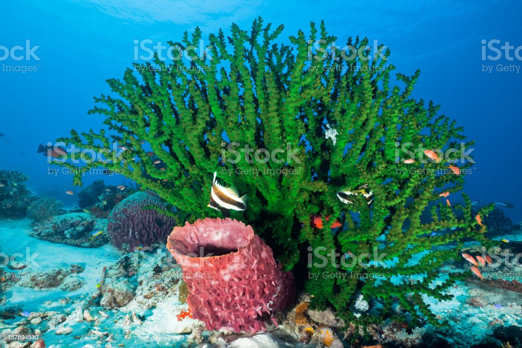 Large Black Sun Coral, Barrel Sponge, Komodo National Park, Indonesia stock photo