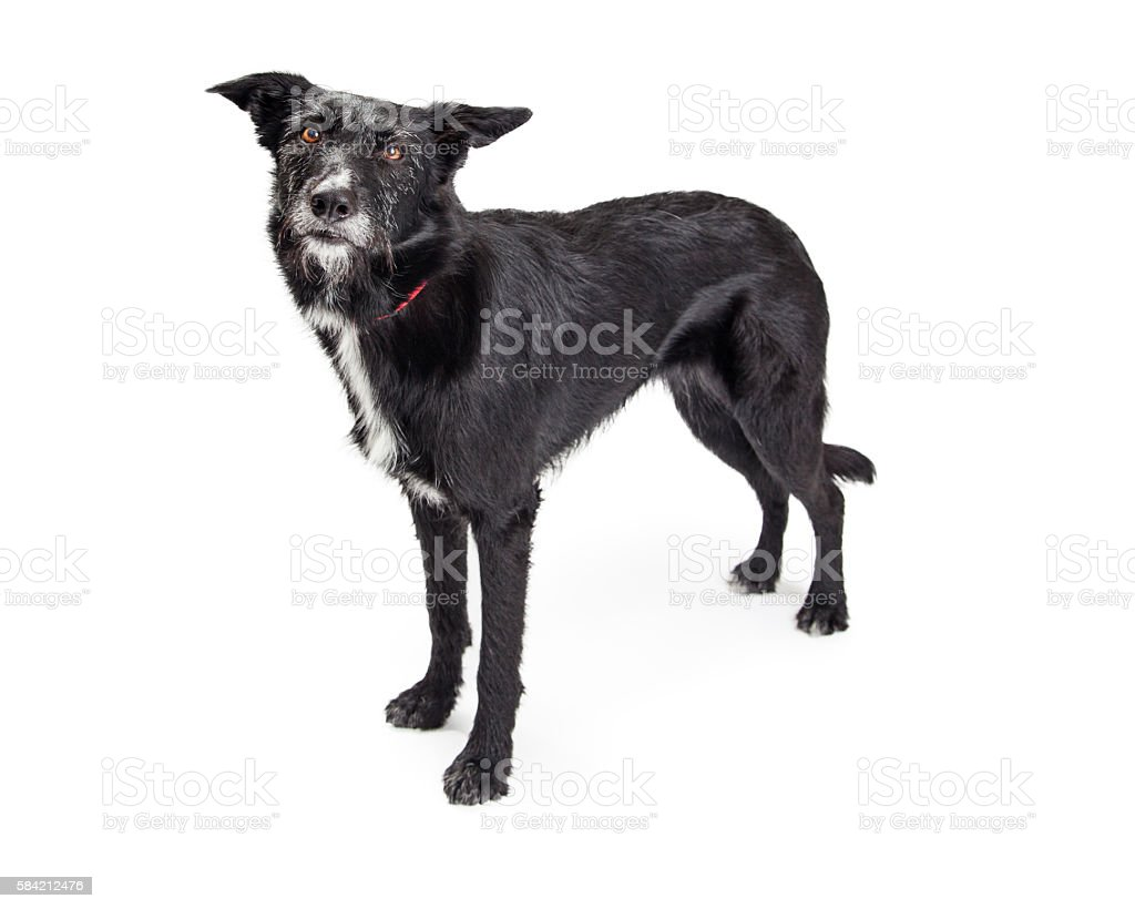 Large Black Terrier Dog Standing Over White stock photo